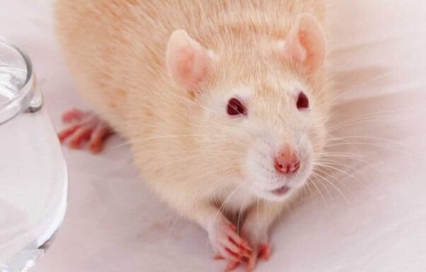 How to Get Rid Of Rats in Your Home